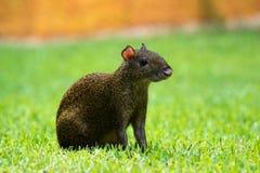 Środkowo-amerykański aguti Dasyprocta punctata Przyrody zwierzę Zdjęcia Stock