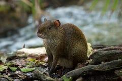 Środkowo-amerykański aguti Dasyprocta punctata Przyrody zwierzę Zdjęcie Royalty Free
