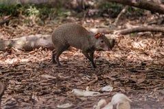 Środkowo-amerykański aguti foraging dla jedzenia Zdjęcie Stock
