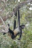 Środkowo-amerykański pająka Geoffroys lub małpy pająka małpa, Atele Zdjęcia Stock