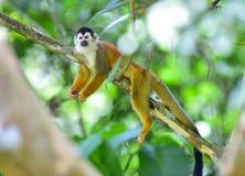 Środkowo-amerykański wiewiórcza małpa w drzewie, costa rica Obrazy Royalty Free