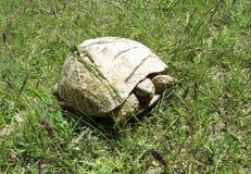 Środkowy Azjatycki żółw blisko Talimarjon składowego rezerwuaru, Uzbekistan Obrazy Royalty Free