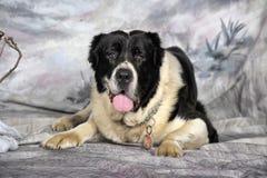 Środkowy Azjatycki Pasterski pies Obrazy Stock