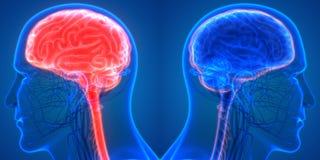 Środkowy organ Ludzkiego układu nerwowego mózg anatomia royalty ilustracja
