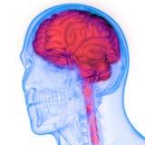 Środkowy organ Ludzkiego układu nerwowego mózg anatomia ilustracja wektor