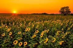 Środkowy Zachód słoneczniki Fotografia Royalty Free