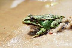 środowiska żaby naturalny stawowy dopłynięcie Fotografia Stock