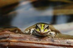 środowiska żaby naturalny stawowy dopłynięcie Zdjęcia Stock