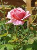 środowiska kwiatów różany kolor żółty fotografia royalty free
