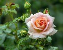 środowiska kwiatów różany kolor żółty Zdjęcie Stock