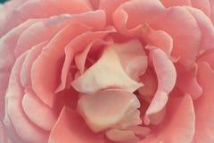 środowiska kwiatów różany kolor żółty Fotografia Stock