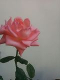 środowiska kwiatów różany kolor żółty Zdjęcia Royalty Free