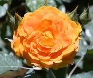 środowiska kwiatów różany kolor żółty Obrazy Stock