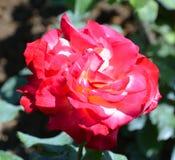 środowiska kwiatów różany kolor żółty Obrazy Royalty Free