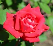 środowiska kwiatów różany kolor żółty Zdjęcie Royalty Free