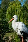środowiska oceanów ochrony rzek morzy symbolizm Biały bocian w ranku parku Fotografia Stock