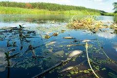 Środowiskowa katastrofa na rzece Mszalna śmierć ryba zdjęcie royalty free
