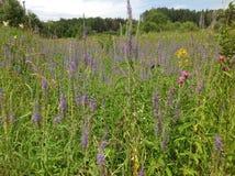 Środowiskowy pole z dzikimi kwiatami w Środkowym Rosja Obrazy Royalty Free