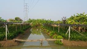Śrubowej sosny i banana gospodarstwo rolne Obrazy Royalty Free