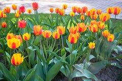 Świąteczni tulipany na flowerbed zdjęcia stock
