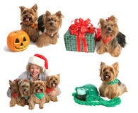 świąteczny yorkie gromadzenia danych Zdjęcie Royalty Free