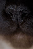Świątobliwy birman kot Fotografia Stock