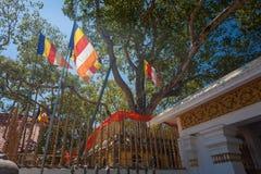 Świątynia Sri Maha Bodhi stary uprawiany drzewo, Anuradhapura Zdjęcie Royalty Free
