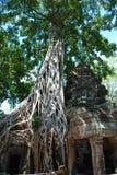 Świątynie Kambodża swaloed drzewem Fotografia Royalty Free