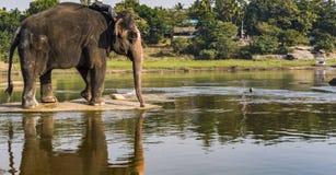 Świątynny słoń Wokoło brać Rzecznego skąpanie zdjęcia royalty free