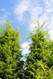 Święta jedlinowi drzewa Obrazy Stock