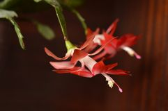 Święta kaktusowi czerwone zdjęcie stock