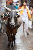 święta krowa, Raljasthan fotografia royalty free