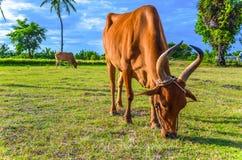 Święta krowa, Tamilnadu Zdjęcie Stock