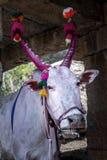 Święta krowa z rogami malował czerwień w Hampi, India Obraz Royalty Free