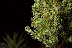 Święta moje portfolio drzewna wersja nosicieli Jedlinowe gałąź makro- Kanadyjska błękitna świerczyna Zdjęcia Royalty Free