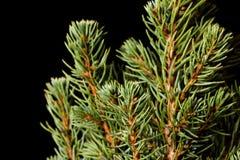 Święta moje portfolio drzewna wersja nosicieli Jedlinowe gałąź makro- Kanadyjska błękitna świerczyna Fotografia Stock