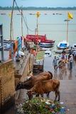 Święte krowy na Ganges Riverbank zdjęcie stock