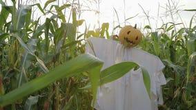 Świętowanie Halloween Strach na wróble z Jack lampionem zamiast kierowniczej pozyci w polu kukurudza zdjęcie wideo
