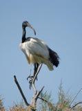 święty afrykański ibis Obrazy Stock