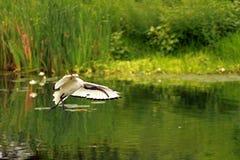 święty afrykański ibis Obraz Royalty Free