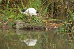 święty ibis Zdjęcie Stock