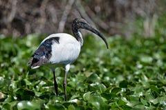 święty ibis obrazy stock