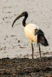 Święty ibis na pierwszego planu brzeg Fotografia Royalty Free