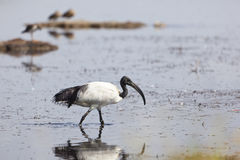 Święty ibis przy Jeziornym Nakuru, Kenja Obraz Royalty Free
