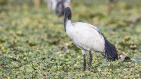 Święty ibis Wśród świrzepy fotografia stock