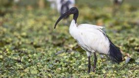 Święty ibis w łące zdjęcia stock