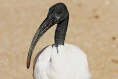 święty ibisa gapić Obraz Royalty Free