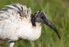 święty kierowniczy ibis Obrazy Stock