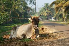 święty krowa portret Obraz Stock