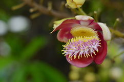 Święty kwiat Zdjęcia Royalty Free